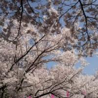 伊那公演の桜
